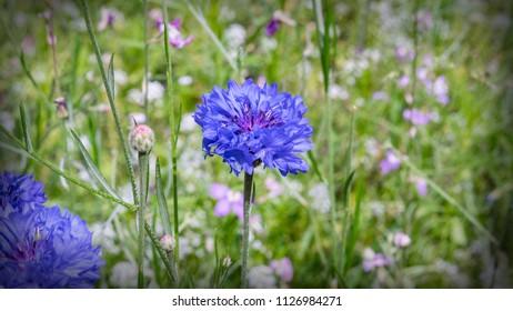 blaue Kornblume auf einer Wiese