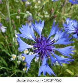 Blaue Kornblume auf grüner Wiese