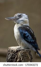 Blaufluegel-Kookaburra, Lachender Hans, Dacelo leachii, Blue-winged kookaburra