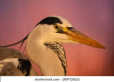 Blauwe Reiger portret bij zonsondergang; Grey Heron portrait at sunset
