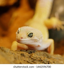 blazing blizzard leopard gecko. Blazing Blizzard is a combination of the Blizzard morph and any of the 3 Albino strains. The eyes will also look like the eyes of its respective albino strain