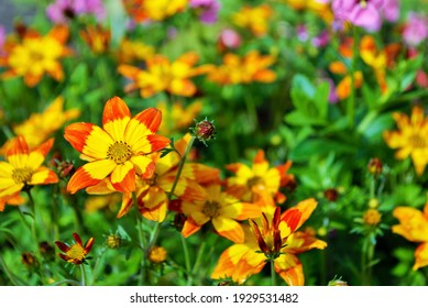 Blazing Fire bidens blooming in the garden yellow and orange pointed pedaled flower