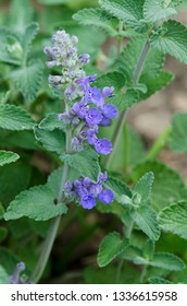 Ble flowers of Catmint