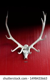 Bleached Deer Caribou Antler Taxidermy Wall Mount on Red Background in Alaska