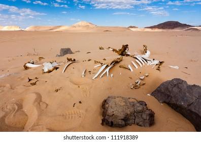 Bleached white skeleton of a dead camel in the unforgiving Sinai desert