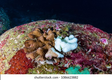 Bleaching coral caused by rising sea temperatures and global warming