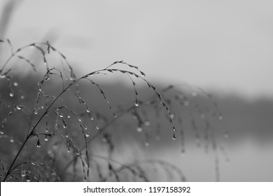 Bleak autumn, grass with little drops of water on the shore of a pond, monochromatic, small depth of field