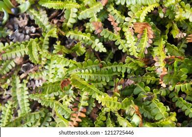 Blechnum penna-marina or antarctic hard-fern or alpine water fern green plant background