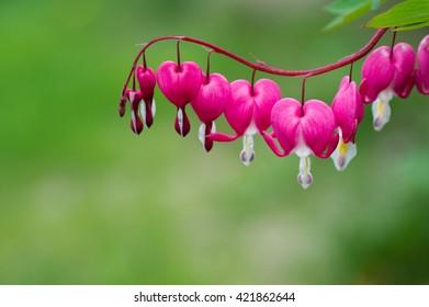 Bleeding Heart flower plant