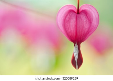 Bleeding Heart Plant Pictures For Sale Near Me Tattoo Construyendo