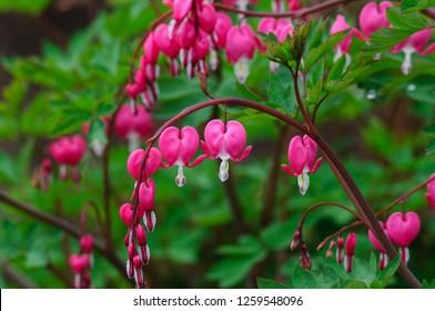 Bleeding heart flowers (Dicentra spectabils)