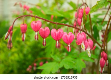 Bleeding Heart pink red flowers (Dicentra spectabilis), Lamprocapnos spectabilis, Asian bleeding-heart, Tear of Heart, Broken Heart). Garden plant with blossoms in shape of hearts. Closeup