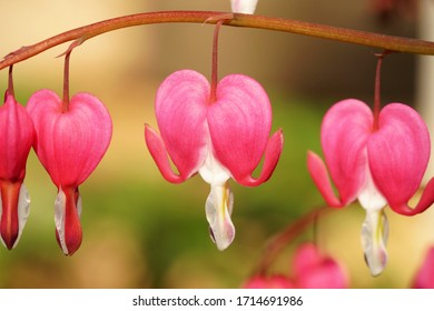 Bleeding heart, weeping hearts, Lamprocapnos spectabilis, ornamental plant, blossom in shape of heart. flowers or lyre flower or Lady-in-a-bath hanging in a line on blur natural background. dicentra
