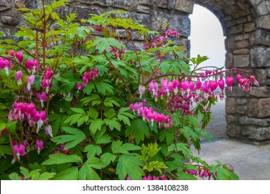 Bleeding hearts bush growing in Irish garden