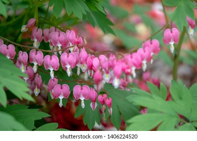 Bleeding hearts, perfect little pink and white flowers in the shape of a heart, also known as 'lady in the bath'or lyre flower. Photographed in Surrey, UK.