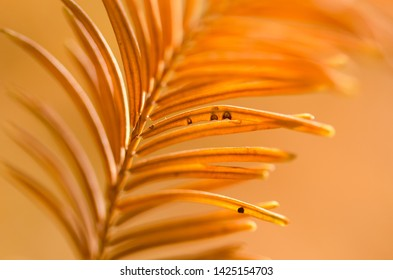 Blemishes on the Golden Needles of the Dawn Redwood in Autumn