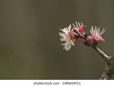 Blenheim apricot flowers on a tiny branch close-up
