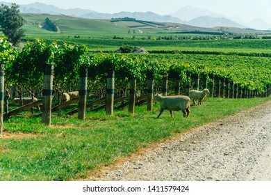 Blenheim, New Zealand - Jan 2019: Cute sheep and lambs grazing the grass in organic vineyard in Marlborough wine region New Zealand. With view of grapevines at Marlborough Sauvignon Blanc Winery