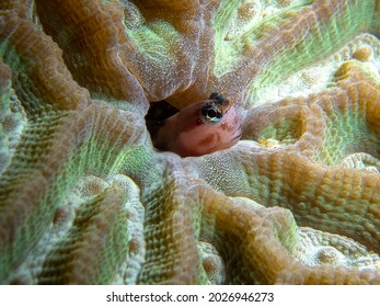 Blenny fish popping up from a hard coral