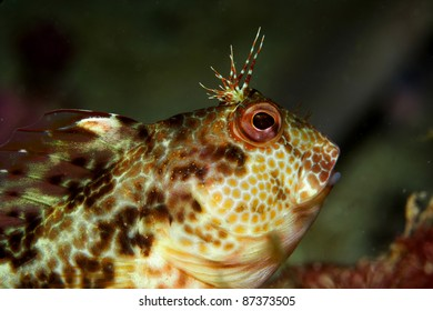 Blenny (Parablennius pilicornis) in Berlengas, Portugal