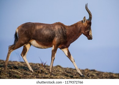 A blesbok antelope (Damaliscus pygargus) in the Malolotja Nature Reserve, Swaziland