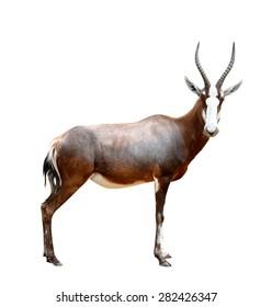 blesbok antelopes (Damaliscus pygargus) isolated on white background