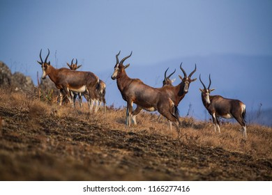 Blesbok antelopes (Damaliscus pygargus) in the Malolotja Nature Reserve, Swaziland