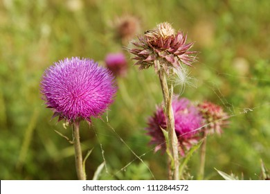 Blessed flowers of milk thistle. Marie Scottish thistle, Mary Thistle, Marian Cardus. Milk thistle flower toned in fashionable color tone treatment