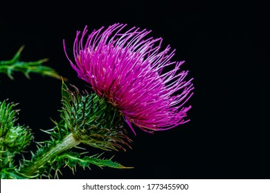 Blessed milk thistle flower, closeup. Silybum marianum herbal remedy plant, Saint Mary's Thistle, Marian Scotch thistle,  Mary Thistle, Cardus marianus blossom on black background