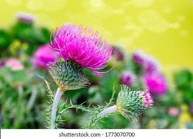 Blessed milk thistle flowers, close up. Silybum marianum herbal remedy, Saint Mary's Thistle, Marian Scotch thistle,  Mary Thistle, Cardus marianus.