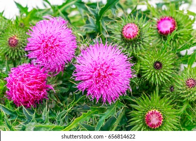 Blessed milk thistle flowers, close up. Silybum marianum herbal remedy, Saint Mary's Thistle, Marian Scotch thistle,  Mary Thistle, Cardus marianus