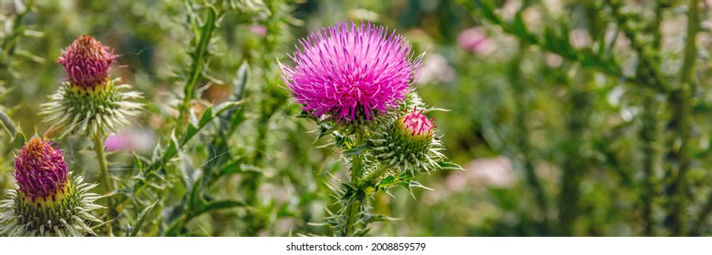 Blessed milk thistle pink flowersin field. Silybum marianum herbal remedy plant. Banner. Saint Mary's Thistle pink bloom.  Marian Scotch thistle blossom.  Mary Thistle, Cardus marianus blooms.