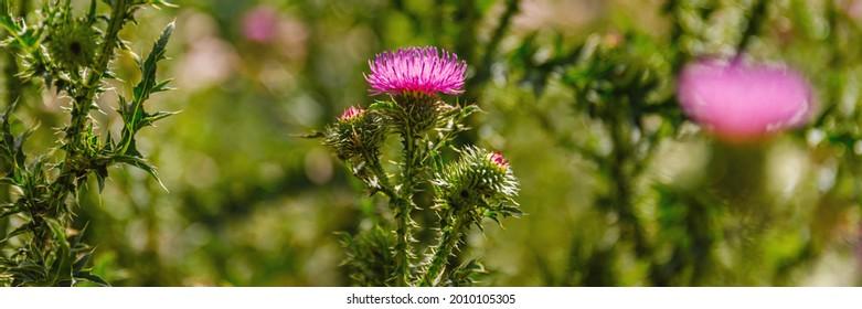Blessed milk thistle pink flowersin field. Silybum marianum herbal  plant. Banner. Saint Mary's Thistle pink bloom.  Marian Scotch thistle blossom.  Mary Thistle, Cardus marianus blooms.
