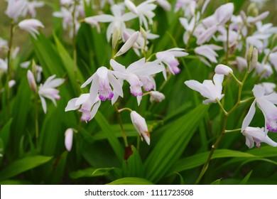 Bletilla striata (white variety of Shiran) - Shutterstock ID 1111723508