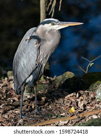 Bleu Heron bird close-up profile view standing on ground by the water with a bokeh background, displaying blue feathers plumage, beak, feet, eye, in its environment and surrounding.
