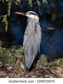Bleu Heron bird close-up profile view standing on ground by the water with a water background, displaying blue feathers plumage, beak, feet, eye, in its environment and surrounding.
