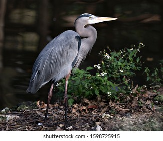 Bleu Heron bird close-up profile view standing on ground by the water with a bokeh background an foliage and flower foreground, displaying blue feathers plumage, beak, feet, eye, in its environment.