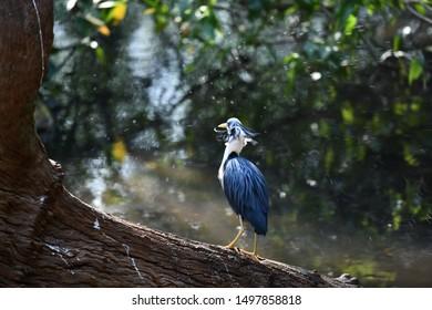 Bleu Heron shaking water of his feathers