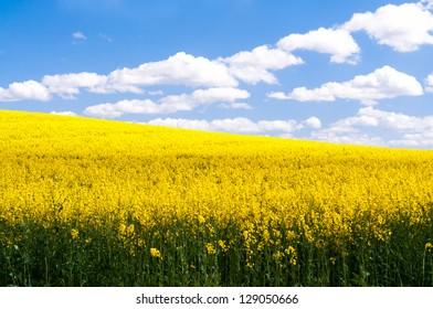 Blick auf ein gelb leuchtendes Rapsfeld mit blauem Wolkenhimmel im Sommer