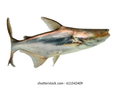 Blind fish  Pangasius Striped catfish