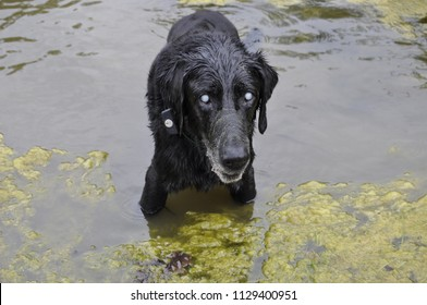 Blind Labrador In A Pond