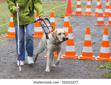 A blind person is led by her golden retriever guide dog during the last training for the dog. The dogs are undergoing various training before finally given to the physically disabled people.