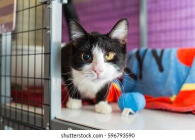 blind tuxedo cat