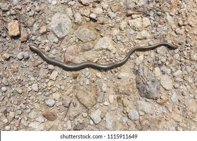 Blind worm on stony ground - detail