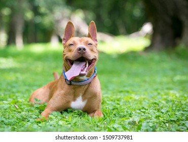 A blissfully happy red and white Pit Bull Terrier mixed breed dog relaxing in the grass with its tongue hanging out