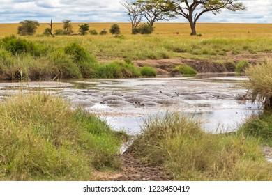 Bloat of Hippopotamus, hippo submerging in muddy water at Serengeti National Park in Tanzania, East Africa