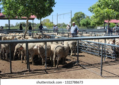"""Bloemfontain / South Africa - February 19th 2019:  Farmers watching the sheep in enclosures at an auction of livestock in Bloemfontein, South Africa"""
