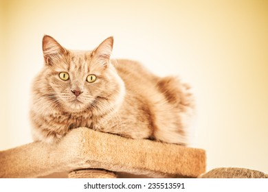 Blond cat is resting in the scratching post