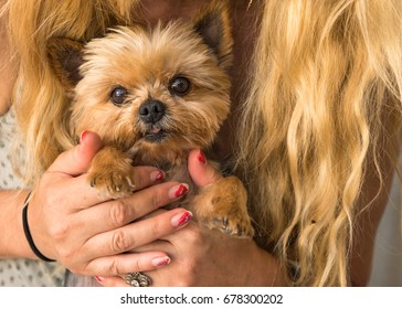 Blond caucasian woman with long hair holding Yorkshire terrier in her hands, cute dog face, eyes looking in camera, cuddling, sweet, close up