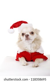 Blond Chihuahua dog in santa costume